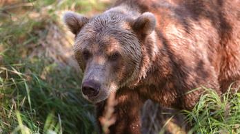 Túlélte a medvetámadást, 15 ezer eurós kártérítésre számíthat