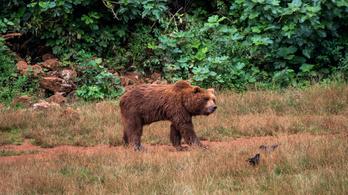 Egy hétig terrorizált egy férfit egy medve
