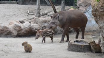 Rezsőnél, a tapírgyereknél ma nem lesz cukibb