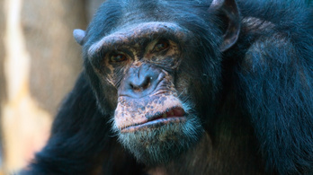 Az igazi majmok bolygója: halálos csatát vívtak a csimpánzok a gorillákkal