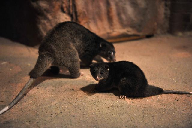 Kuszkuszkölyök anyjával a Fővárosi Állat-és Növénykertben