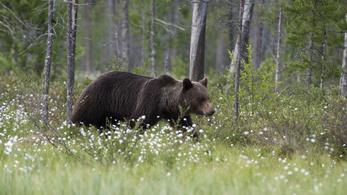 Újabb medvetámadás Székelyföldön, egy 26 éves pásztorral végzett az állat