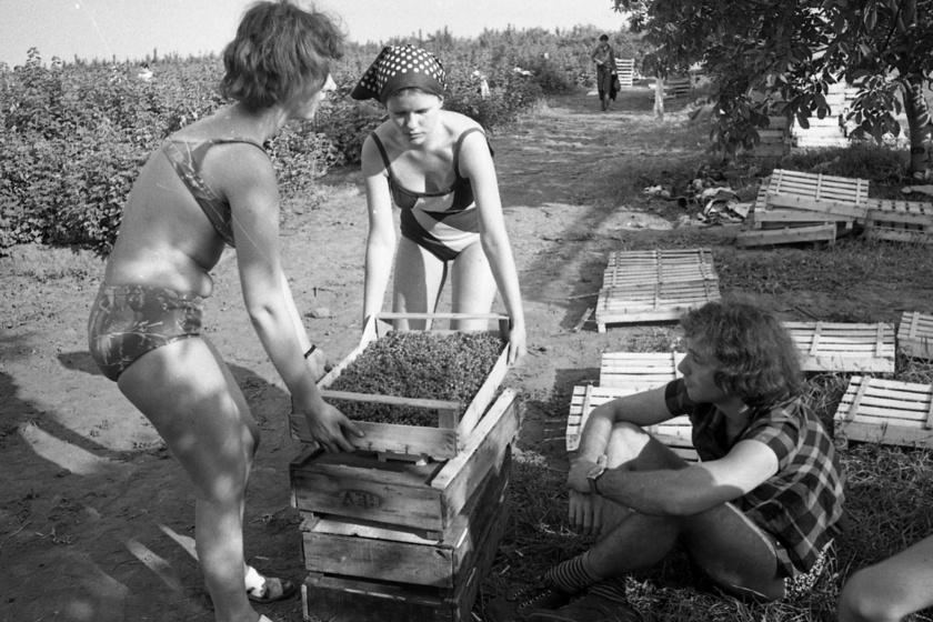 1958 és 1989 között a fiataloknak összesen huszonegy felállított KISZ-tábor közül lehetett választaniuk, ezekben majdnem 50 ezer diák fordult meg. A fotó Siófok közelében, Enyingen készült, amin egy 1974-es ribizliszedés látható.