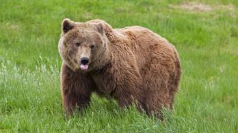 Románia bekeményít: célkeresztben a barnamedve