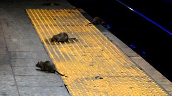 Patkány támadott egy bukaresti férfire