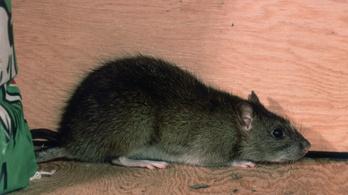 Vakmerő patkány kapta be egy férfi lábujját Bukarestben