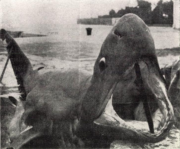Emberevő cápa a Fiumei-öbölnél 1935-ben