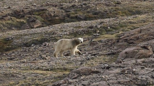 Megtámadta a filmeseket a grönlandi jegesmedve