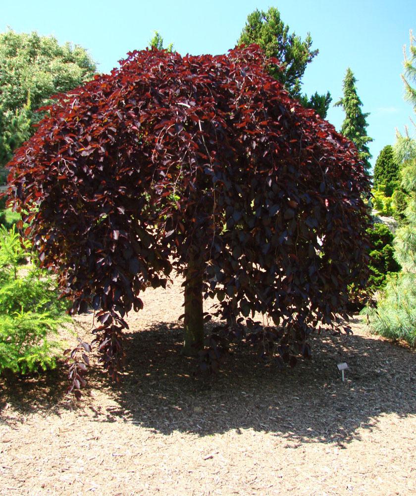 - A csüngő vörös bükk (Fagus sylvatica purpurea pendula) az extravagáns fák kedvelőinek ajánlható. Ez egy csüngő ágú fa, vagyis hajtásai lefelé hajlanak. Az ilyen típusú fákat szomorúfáknak is szokás nevezni, de a vörös bükk egyáltalán nem sugároz lehangoltságot, inkább játékos, vidám hangulatú dísznövény. Levelei mélybordók, vörösek, környezeti igényei csekélyek, fagyállósága kiváló, de a nyári, meleg hetekben rendszeres öntözésre szorul.