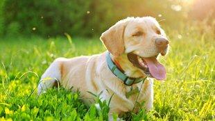 Leishmaniózis kutyáknál: szúnyogok terjesztik a súlyos fertőzést