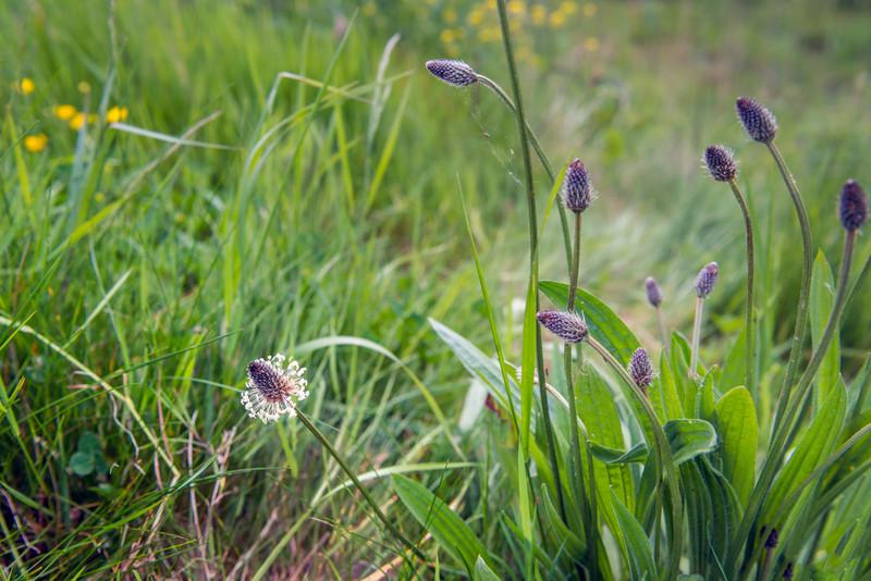 Melyik gyógyító, köhögéscsillapító növény látható a képen?