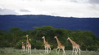 Miért nincs a zsiráfoknak magas vérnyomása?