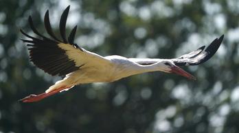 Összezavarják a gólyákat a görög erdőtüzek