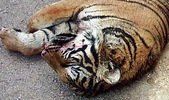 Halott tigris egy kínai tigrisfarmon