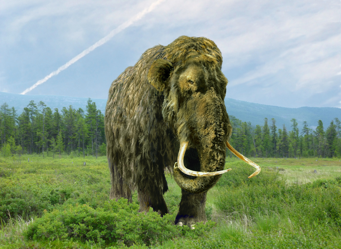 gyapjas-mamut