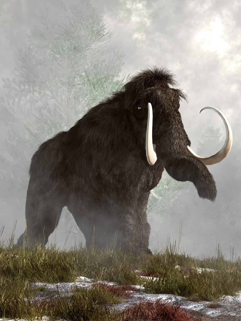 gyapjas-mamut-2
