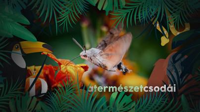 Az év rovara, a kacsafarkú szender olyan, mint egy kolibri, pedig kicsit se madár