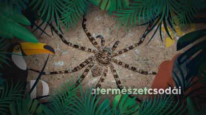 A világ egyik legnagyobb pókfajának tányérnyi méretétől az ereidben is meghűl a vér