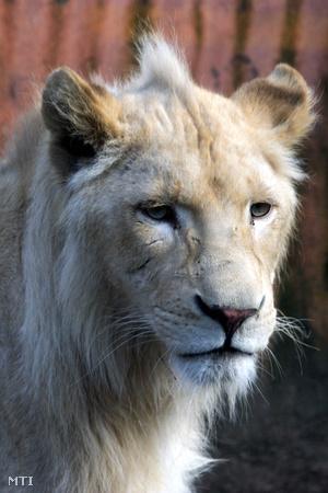 A fiatal, másfél éves hím és nőstény színe vajsárga, vagyis ezek az oroszlánok nem albínók, hanem egy világos színváltozat képviselői.