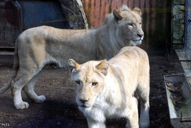 Ritka és különleges, a köznyelvben fehérnek nevezett dél-afrikai oroszlánokat (Panthera leo krugeri) láthatnak a Szegedi Vadaspark látogatói.