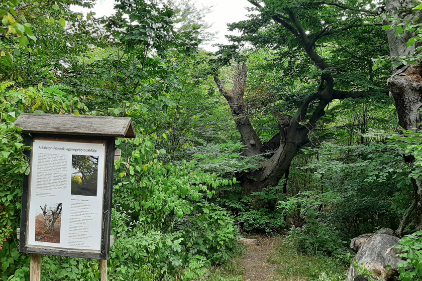 Öreg bükkfa.