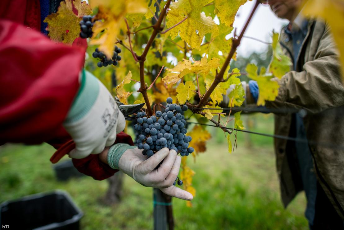 Szüretelők dolgoznak a Szende Pincészet cabernet sauvignon ültetvényén, a villányi borvidéken 2020. október 29-én