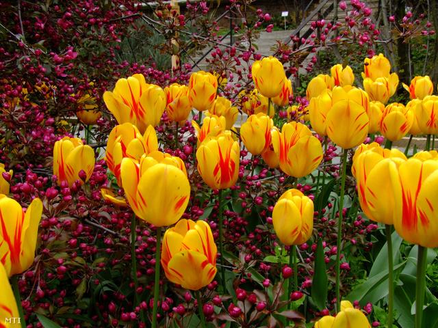 Virágzó holland tulipánok