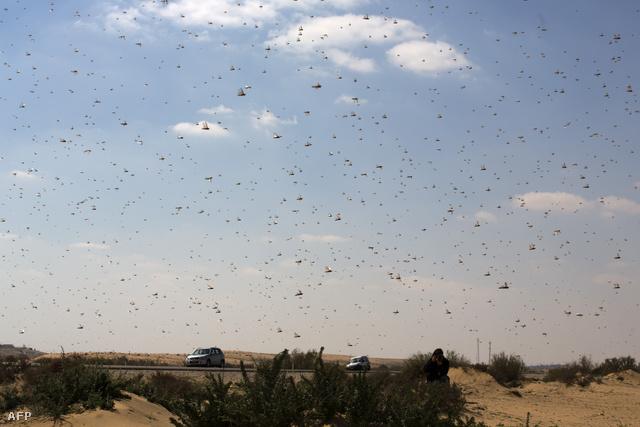 Sáskák a Negev-sivatagban