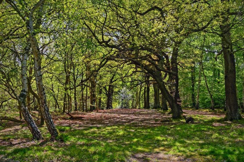 Robin Hood otthona a valóságban is elragadó hely: a sherwoodi erdőben több száz éves tölgyek sorakoznak
