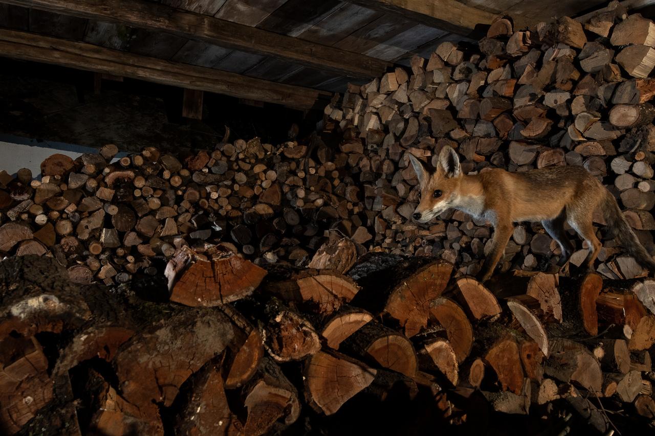 A nyílt szérűben kialakult új helyszínnel ismerkedik, miközben a frissen felrakott fakupacon egerekre lesve sétálgat.