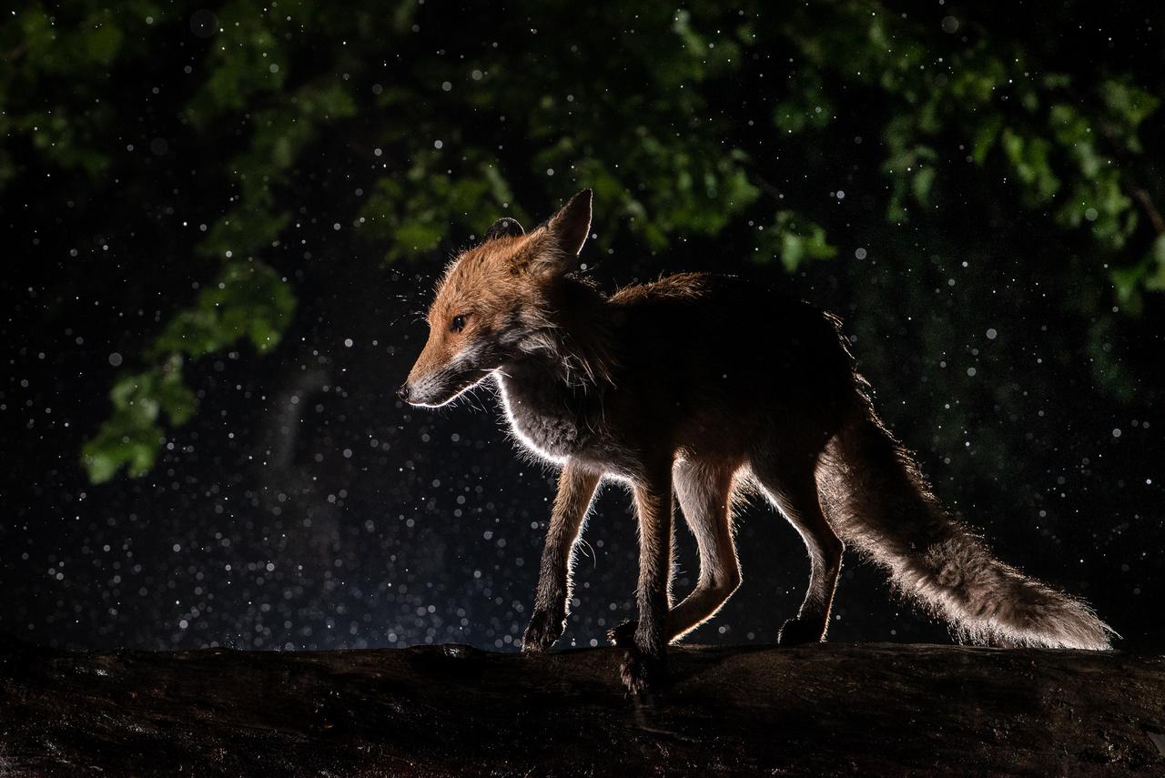 Szélben és esőben a róka nem tudja kiszűrni a számára veszélyt jelentő hangokat, és a préda hangját is sokkal nehezebben ismeri fel. Folyamatosan összerezzen, testét összehúzza, és ebben a testtartásban közlekedik, miközben láthatóan szorong, kiszolgáltatottnak érzi magát.