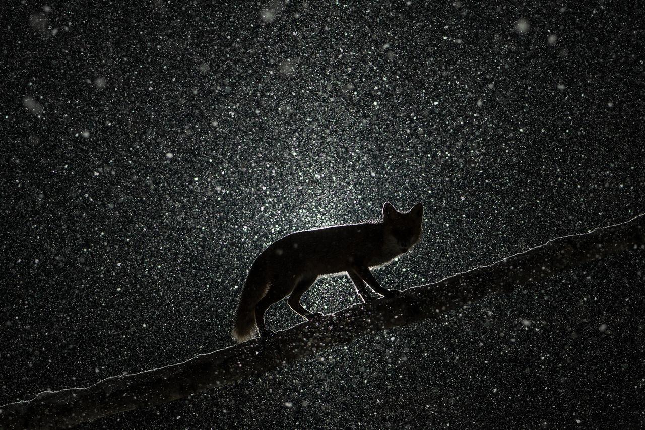 Ellenfénnyel világítottam meg a szakadó hóesést, hogy ezzel a háttérrel a nyírfán mászó Roxyt a csillagok közé emeljem.