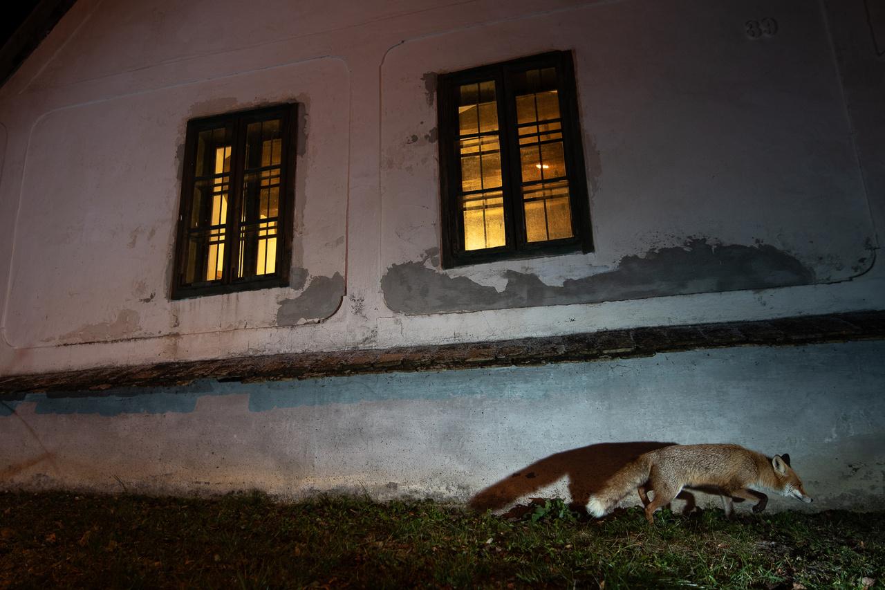 Roxy a ház előtt sompolyogva érkezik a fotós udvarba. Két oldalról szokta megközelíteni az udvart: vagy a kőkerítésre ugrott fel, vagy a felső szomszéd felől, a ház előtt jelent meg.