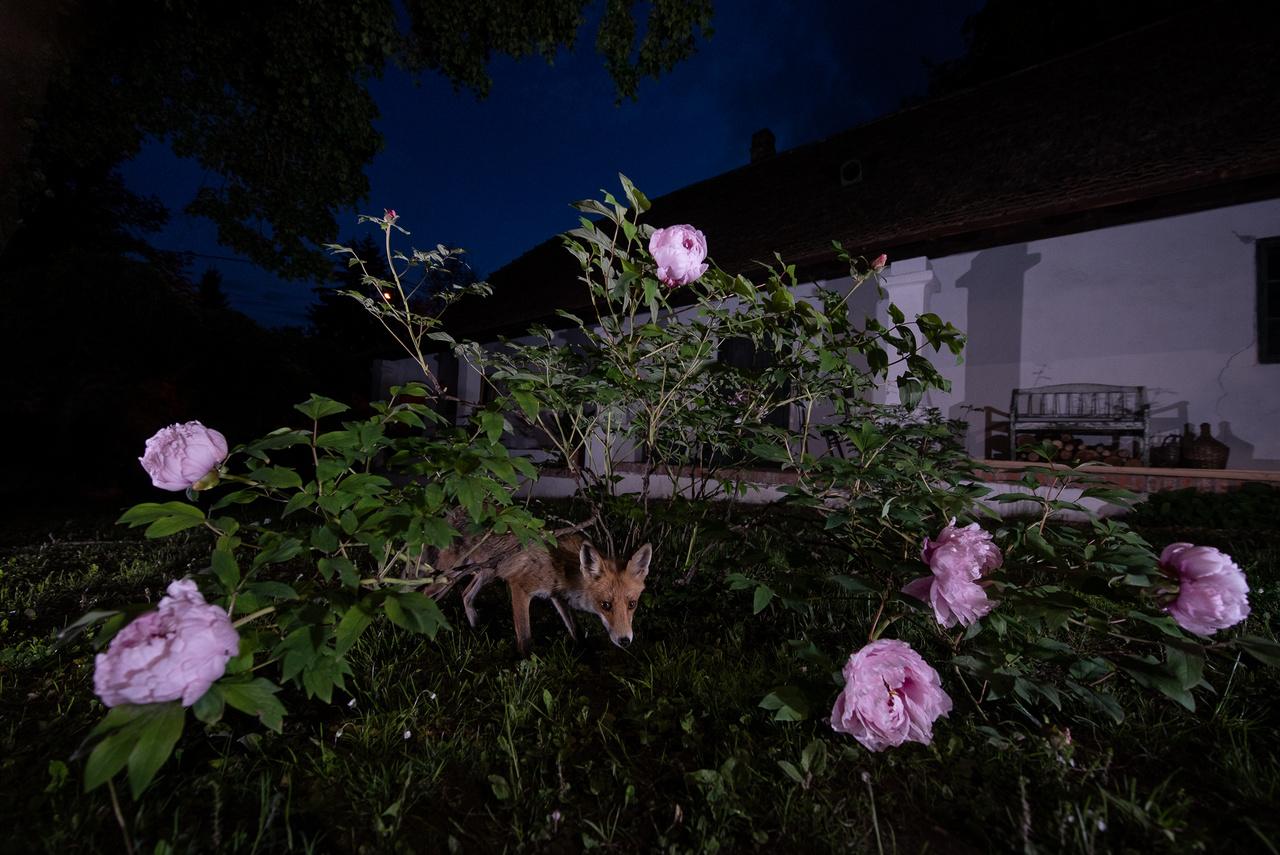 Roxy szaglászik a házhoz régről hozzátartozó bazsarózsa virágzó bokra alatt, mely a kert májusi dísze.