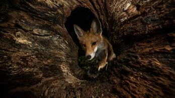 Magyarország legfotogénebb rókája