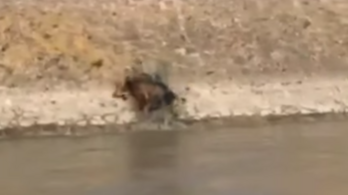 Videó: vaddisznó úszott a Dunában Budapestnél, aztán eltűnt