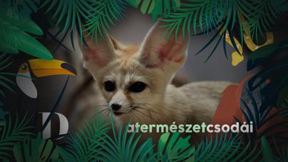 Mi a titka a pici róka hatalmas fülének?