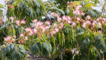 4 csodás, a kertbe is ültethető díszfa, amit könnyű félreismerni