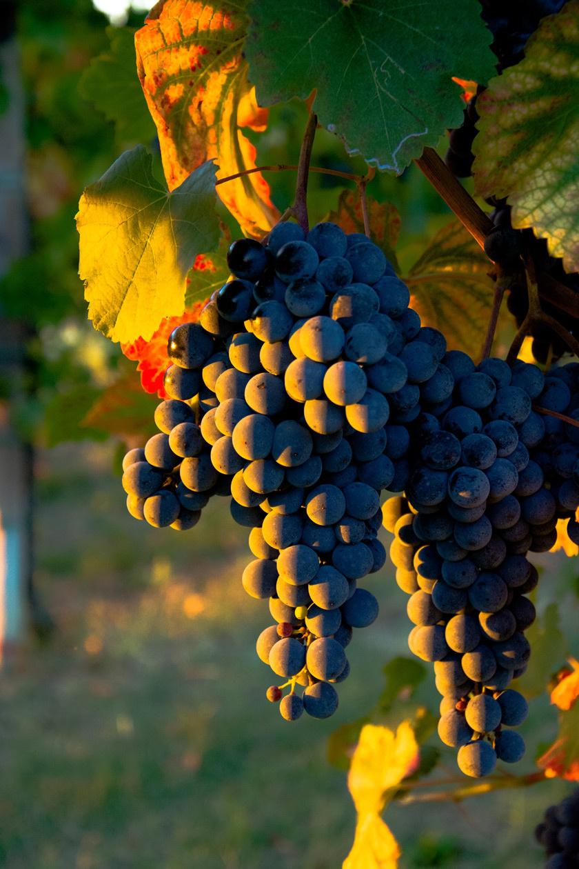 szőlő4