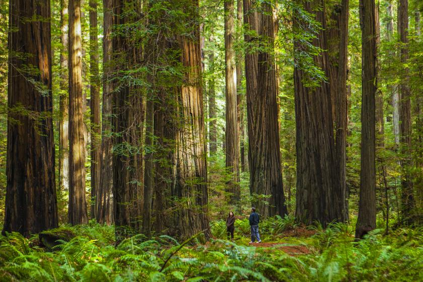 A kaliforniai Redwood Nemzeti Park a világon egyedülálló parti mamutfenyőiről híres, elsődleges feladata ezek megóvása. A faóriások között sétálva az ember igen kicsinek érezheti magát, főleg, hogy itt található a világ legmagasabb ismert fája, a 115,55 méteres Hyperion, ami a becslések szerint legalább 600 éves lehet.