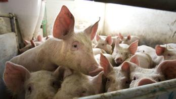 Kína és az állatvédők válaszút elé állítják a magyar gazdákat