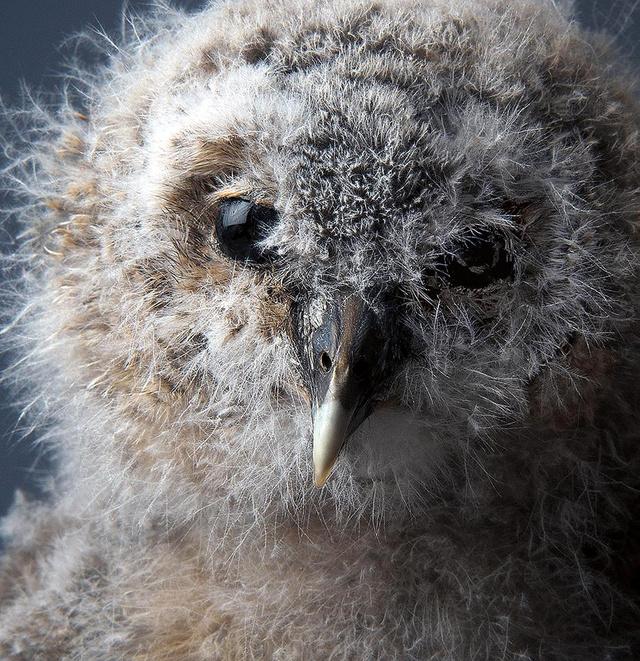smithsonian-photo-contest-naturalworld-fluffy-owl-baby-phillip-p