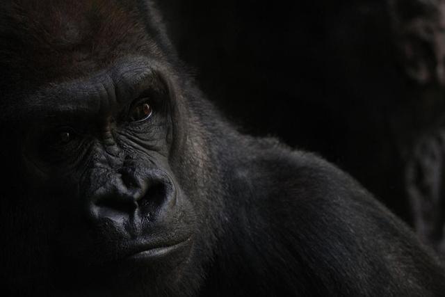 smithsonian-photo-contest-naturalworld-gorilla-portrait-vanessa-