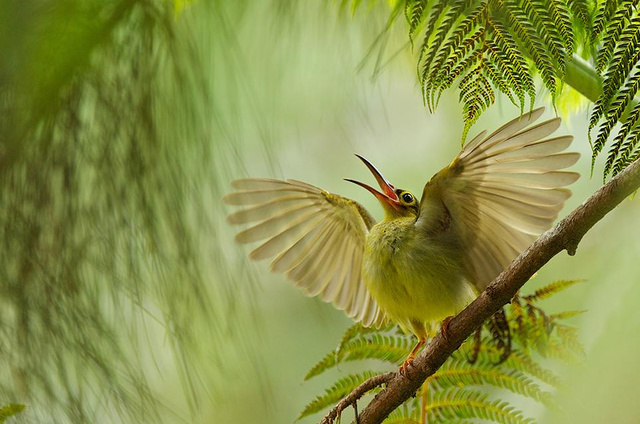 smithsonian-photo-contest-naturalworld-bird-spiderhunter-wings-b
