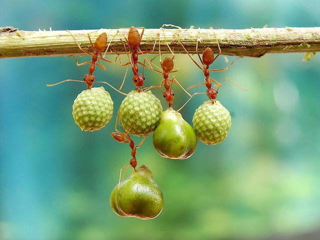 smithsonian-photo-contest-naturalworld-bird-ants-eating-acrobats