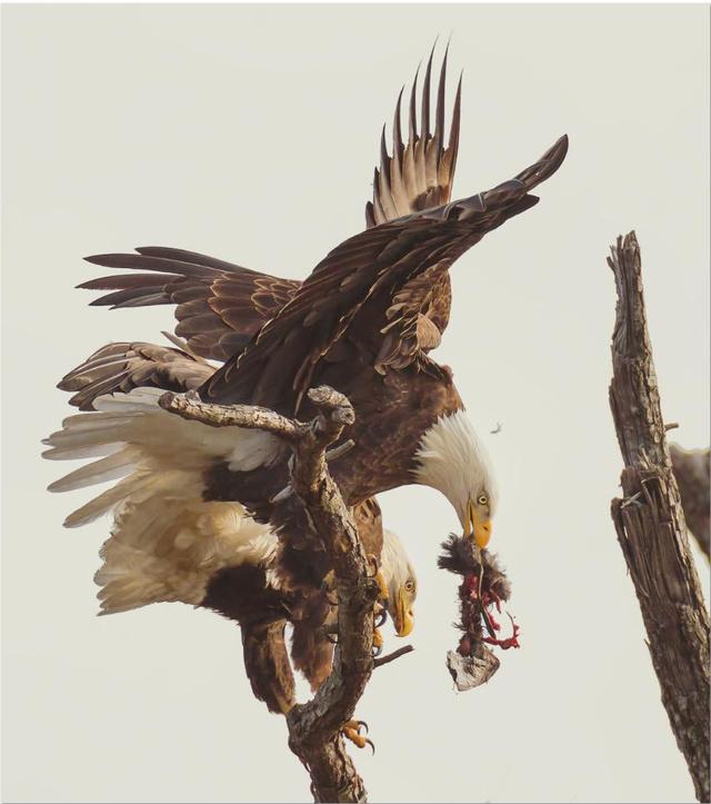Smithsonian-photo-contest-naturalworld-bald-eagle-carnage-eating
