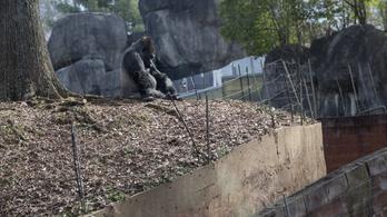 Gondozója fertőzhette meg koronavírussal a világ legidősebb gorilláját