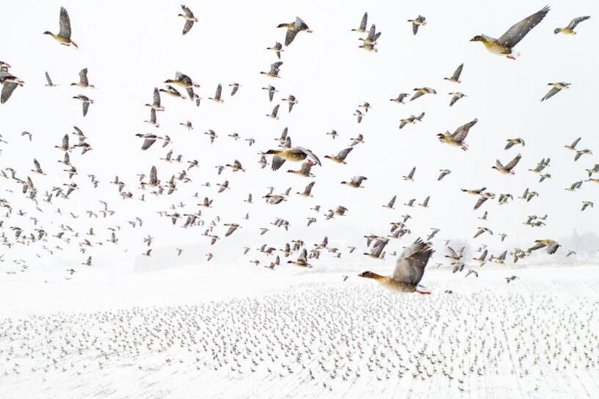 A verseny első helyezettje Terje Kolaas felvétele lett, amin rövidcsőrű ludak láthatók Norvégiában, ahogy a világ egyik legészakibb területe, a Spitzbergák felé repülnek.
