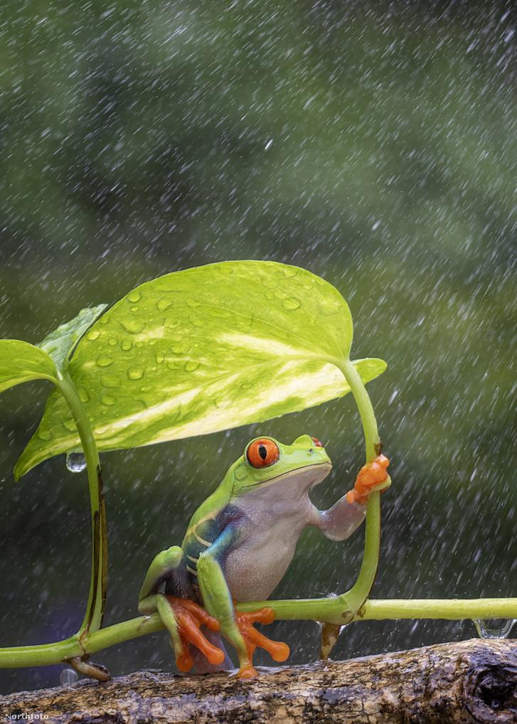tk3s h mdrum umbrella frog-2
