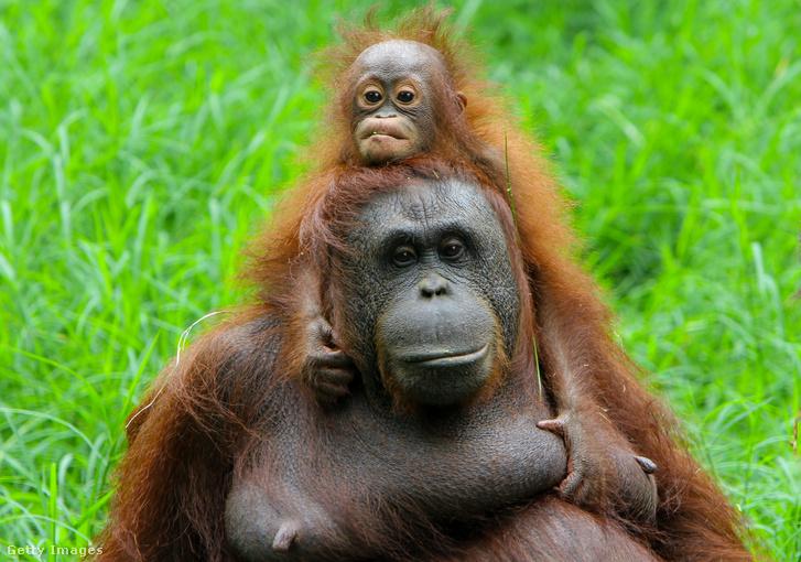 Borneói orangutánok